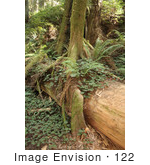 #122 Stock Image Of A Redwood Forest California