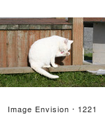 #1221 Photography Of A White Cat Cleaning Itself