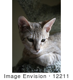 #12211 Picture Of A Savannah Kitten