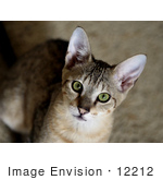 #12212 Picture of a Savannah Kitten Looking Upwards by Jamie Voetsch