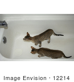 #12214 Picture Of Savannah Kittens Playing In A Tub