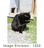 #1222 Picture of a Black Cat Grooming Itself by Kenny Adams