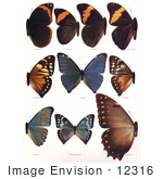 #12316 Picture Of Catoplebea Morpho Butterflies