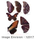 #12317 Picture Of Morpho Butterflies