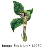 #12970 Picture of a Jack-in-the-Pulpit Flower (Arum triphyllum) by JVPD