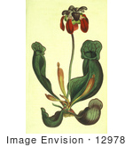 #12978 Picture of a Purple Pitcher Plant, Side-Saddle Flower, Sarracenia Purpurea by JVPD