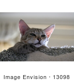 #13098 Picture Of A Savannah Kitten In A Cat Tree