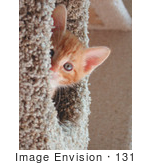 #131 Stock Photograph: Orange Kitten Peeking From A Cat Tree