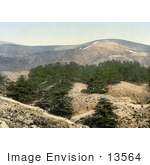 #13564 Picture Of Cedar Trees On Hills Of Lebanon