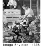#1358 Photo Of Men Boxing Pineapples For Shipment After Harvest