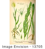 13705-picture-of-lagurus-ovatus-grasses-