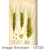 #13723 Picture of Common Wheat (Triticum aestivum) by JVPD