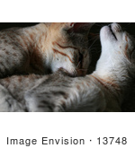 #13748 Picture Of A Male Kitten Biting A Female'S Neck Trying To Mate Or Play