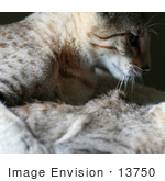 #13750 Picture of a Male Kitten After Biting a Female's Neck, Trying to Mate or Play by Jamie Voetsch