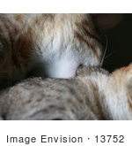 #13752 Picture of a Male Kitten Biting a Female's Neck, Trying to Mate or Play by Jamie Voetsch