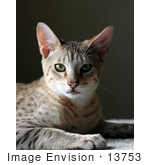 #13753 Picture Of A 5 Month Old Male Savannah Kitten