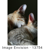 #13754 Picture Of A Male Kitten Biting A Female'S Neck Trying To Mate Or Play