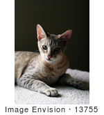 #13755 Picture Of A 5 Month Old Male F4 Savannah Kitten