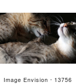 #13756 Picture Of A Male Kitten After Biting A Female'S Neck Trying To Mate Or Play