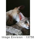 #13758 Picture of a Male Kitten Biting a Female's Neck, Trying to Mate or Play by Jamie Voetsch