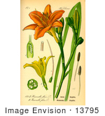 #13795 Picture of Orange Daylily, Tawny Daylily, Tiger Lily, Ditch Lily (Hemerocallis fulva) by JVPD
