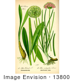 #13800 Picture of Allium Victoralis Onion Plants by JVPD