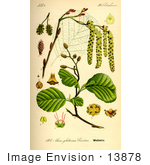 #13878 Picture Of Black Alder European Alder Common Alder (Alnus Glutinosa)