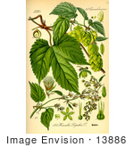 #13886 Picture of Common Hop (Humulus lupulus) by JVPD