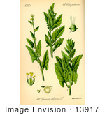 #13917 Picture Of Spinach (Spinacia Oleracea)