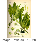 #13928 Picture of Bay Laurel, True Laurel, Sweet Bay, Grecian Laurel, Laurel, Bay Tree (Laurus nobilis) by JVPD