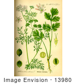 #13980 Picture of Coriander, Cilantro (Coriandrum sativum) by JVPD