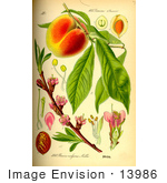 #13986 Picture Of Peach (Prunus Persica)
