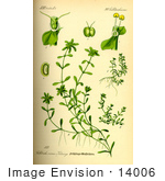 #14006 Picture Of Water Starwort (Callitriche Palustris)