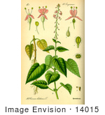 #14015 Picture of Broad-Leaved Enchanter's Nightshade (Circaea lutetiana) by JVPD