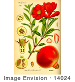 #14024 Picture Of Pomegranate (Punica Granatum)