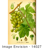 #14027 Picture Of European Grapevine (Vitis Vinifera)