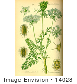 #14028 Picture of Carrot Plant (Daucus carota) by JVPD