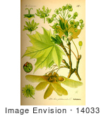 #14033 Picture of Norway Maple (Acer platanoides) by JVPD