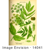 #14041 Picture of Wild Parsnip (Pastinaca sativa) by JVPD