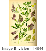 #14046 Picture Of Alfalfa Lucerne Purple Medic Trefoil (Medicago Sativa)