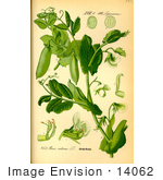 #14062 Picture of Garden Pea, English Pea, Green Pea, Snap Pea (Pisum sativum) by JVPD