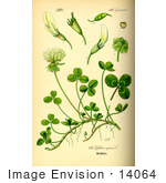 #14064 Picture of White Clover (Trifolium repens) by JVPD