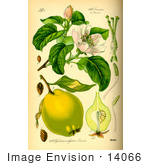 #14066 Picture Of Quince (Cydonia Oblonga)