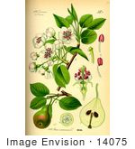 #14075 Picture Of European Pear (Pyrus Communis)