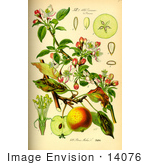 #14076 Picture Of Domestic Apple (Pyrus Malus)