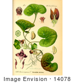 #14078 Picture of Asarabacca, European Wild Ginger, Haselwort, Wild Spikenard (Asarum europaeum) by JVPD
