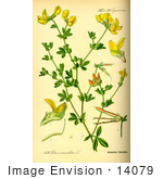 #14079 Picture of Bird's-foot Trefoil, Birdsfoot Trefoil, Birdfoot Trefoil, Bird's Foot Trefoil, Birdfoot Deervetch (Lotus corniculatus) by JVPD