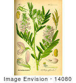 #14080 Picture of Goat's Rue, French Lilac, Italian Fitch or Professor-weed (Galega officinalis) by JVPD