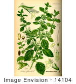 #14104 Picture of Lemon Balm (Melissa officinalis) by JVPD