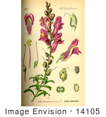 #14105 Picture of Snapdragon (Antirrhinum majus) by JVPD